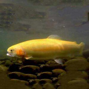 خرید ماهی قزل آلا طلایی